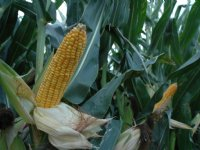 Limagrain: 3 procent minder mais dit jaar