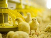 ForFarmers investeert in Pools vleeskuikenvoer