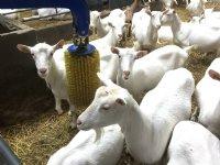 Verbijstering over geitenstop in Limburg