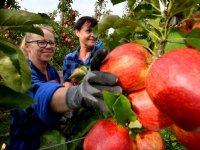 Appel- en perentelers verwachten goede oogst