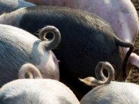 POV maakt voorbehoud bij CO2-taakstelling varkenshouderij