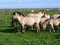 Staatsbosbeheer voert grote grazers langer bij