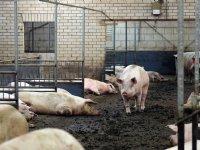 1.500 varkenshouders staken bedrijf voor 2025
