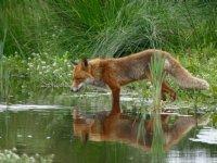 Australië bouwt langste anti-vossenhek