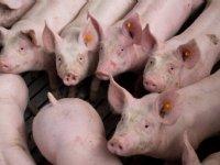 Data zorgen voor revolutie in varkenshouderij