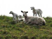 Dijkbegrazing zorgt voor beroering bij schapenhouders
