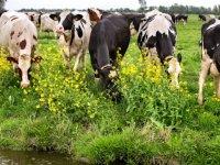 Melkveehouderij nu ook onder stikstofplafond