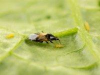 Koppert investeert in slimmer scouten insecten
