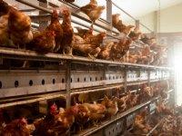 Vogelgriep op pluimveebedrijf in Tsjechië