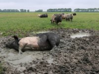 Voorlopig geen ophokplicht varkens