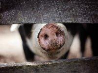 Eerste varkens met chip-oormerk naar slacht