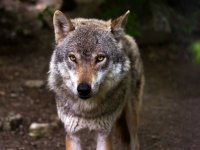 Wolf doodt veertien schapen op Veluwe