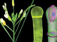 Onderzoekers ontrafelen celdeling van planten