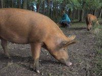 Stroomdraad moet wild zwijn en bosvarken scheiden