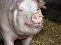 België overweegt ruiming bedrijven varkenspestgebied