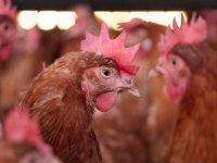 OM eist tonnen voor mestfraude pluimveehouders
