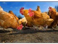 Belgen testen extra op vogelgriep