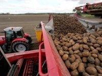 Lagere termijnnotering voor aardappelen van oogst 2019