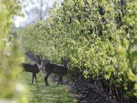 Fruitteelt in België erkend als sector in crisis