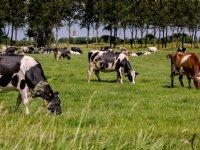 Zieke koeien opsporen met 3D-camera
