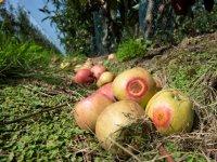 Zonnebrand bezorgt Belgische fruitteelt veel schade