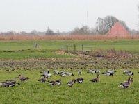 Twijfels over berekening van Friese ganzenschade