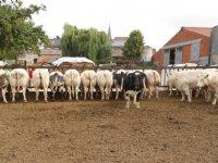 Melkveehouderij moet aan de bak met ammoniakemissie