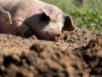 \'Als varkensprijs lang laag is, hoor je slachterijen niet\'