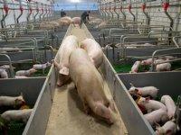 Carrefour stopt met \'gecastreerd\' vlees