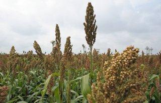 Opschaling teelt sorghum naar 30 hectare