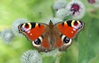 Spectaculair+veel+vlinders+nog+in+de+lucht