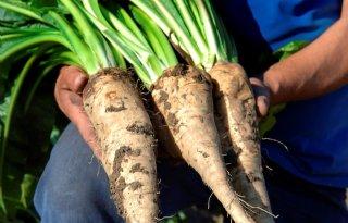 Nieuw+cichoreiras+met+herbicidentolerantie