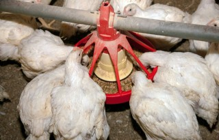 Kip verteert beter met structuur in voer