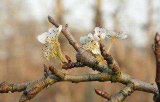 Perenbomen in bloei door warme winterweer