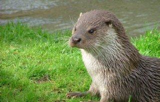 Meer+otters+in+dezelfde+gebieden