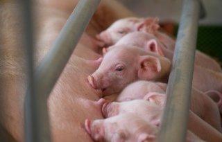 Schouten+wil+varkensstapel+met+miljoen+dieren+inkrimpen
