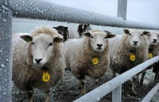 Veertien+dagen+voor+aflammeren+schapen+scheren