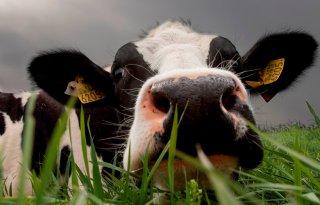 Neospora+kost+bedrijf+40+euro+per+koe