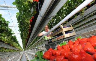 Nederlanders eten steeds meer aardbeien
