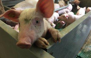 Varkenssector+eist+dierrechten+op