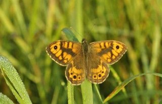 Steeds+minder+vlinders+in+boerenland