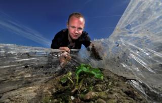 Aardbeiplant groeit mooi onder plastic