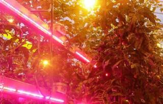 Reactie tomatenplant op LED-lamp bekeken