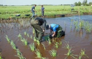 VIC Zegveld experimenteert met wilde rijst