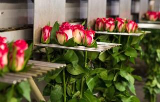 Dümmen Orange koopt aandelen rozenveredelaar