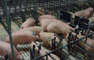 Varkenssector+moet+voorsorteren+op+wens+Chinees