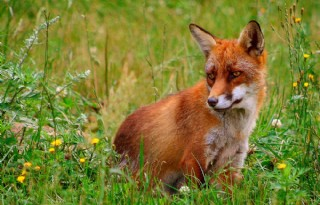 Rechtbank: vossenjacht toegestaan