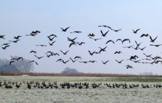 Twee+maanden+winterrust+ganzen+in+Friesland