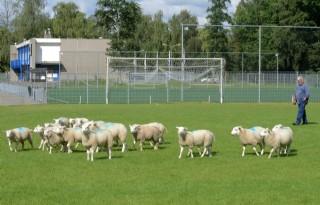 Lammeren+voeden+gras+voetbalveld