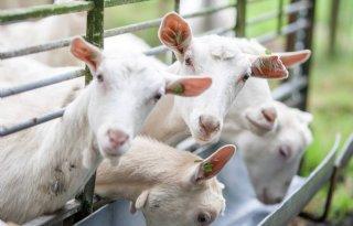 VVD+en+CDA+voor+Overijsselse+geitenstop%2C+PVV+tegen